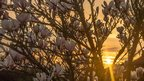 A magnolia tree in bloom in the foreground. The sun is setting behind.