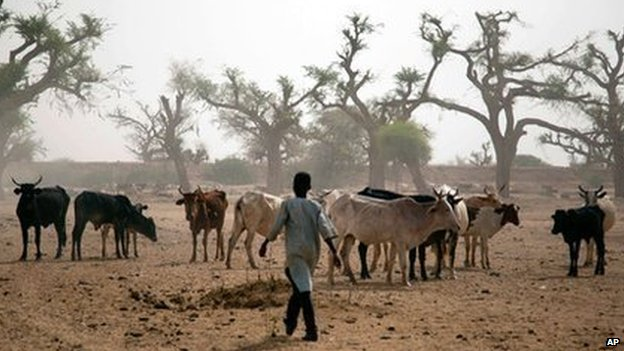 man herds cattle in Sudan