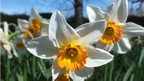 Sunlight on white and yellow daffodils. Blue sky and a tree behind.