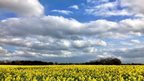 Cloud in a blue sky. Below is a yellow rapeseed field.