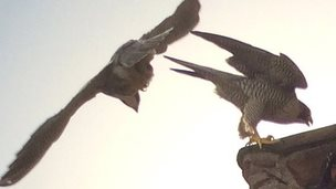 Peregrine falcons at Cambridge University Library