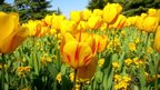 Yellow and red tulips bathe in sunlight. Blue sky and trees behind.