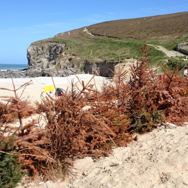 Christmas tree buried at Porthtowan