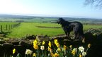A black dog on a stone wall looks out across green fields and blue, hazy sky. Yellow daffodils in the foreground.