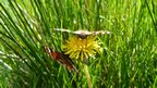 Two butterflies sharing a dandelion - yellow flower - which is surrounded by blades of grass.