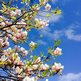 A flowering magnolia branch; behind is blue sky and light cloud.