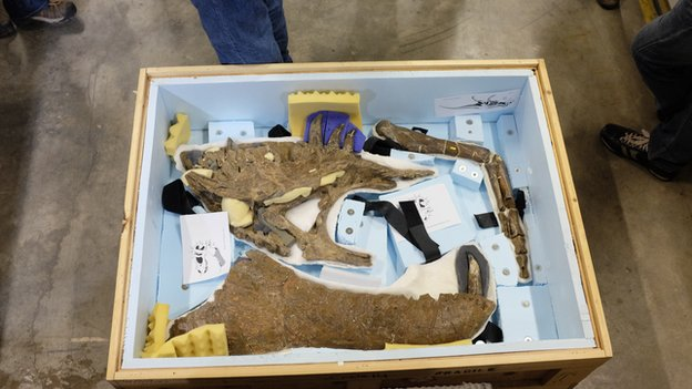 Wankel T-Rex bones in packing case
