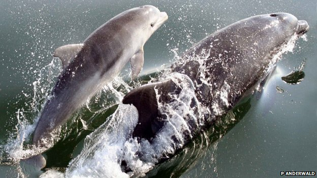 Dolphin and her calf