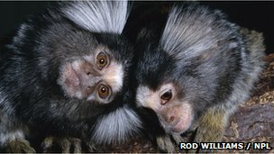 Common marmosets. Copyright Rod Williams / NPL