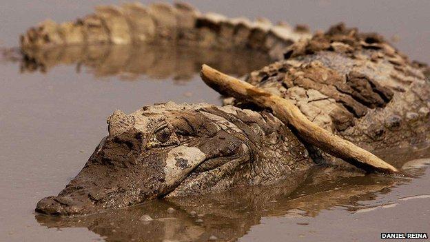 Crocodile in Casanare