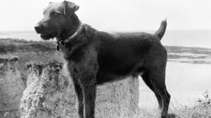 Jim, the Airedale Terrier who was a trained war dog