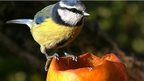 Blue tit on apple