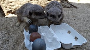 meerkats eat easter eggs