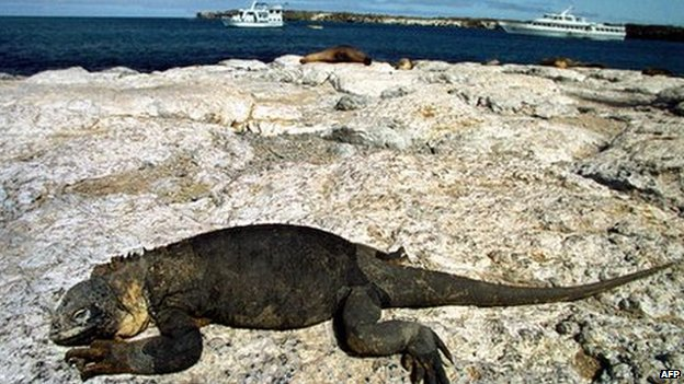 An iguana rests on a rock in the Galapagos with tourist boats in the background