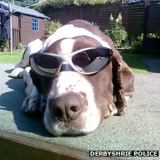 Police dog wearing sunglasses