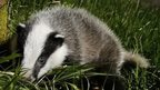 Badger photo