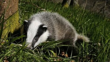 Hundreds march against badger cull