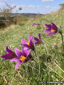 Pasque flower smartphone safari