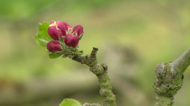 Apple blossom in Armagh