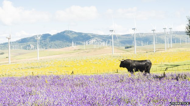 Black bull in field with wind turbines