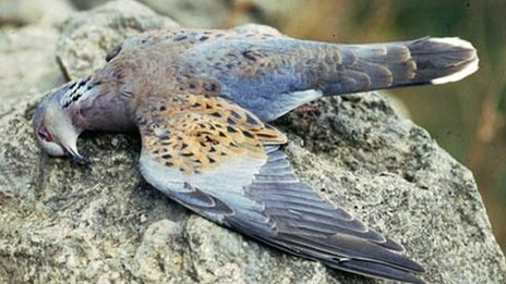 Dead turtle dove - file pic