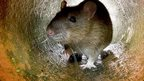 Rat reports increase in Cornwall