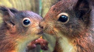 Red squirrel kitten (left) and mother