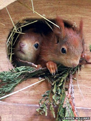Squirrels leave the drey in Pensthorpe