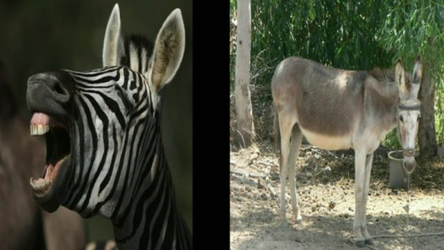 Zebra and a donkey