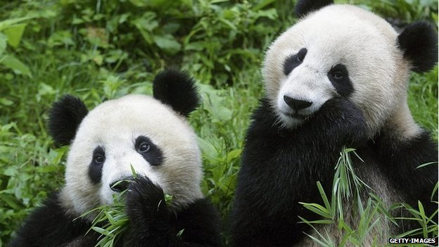 Two giant pandas eat bamboo at the China Wolong Giant Panda Protection and Research Center in 2005 in Wolong of Sichuan Province, southwest China.