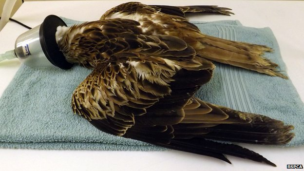 Injured Red Kite at RSPCA hospital in East Winch