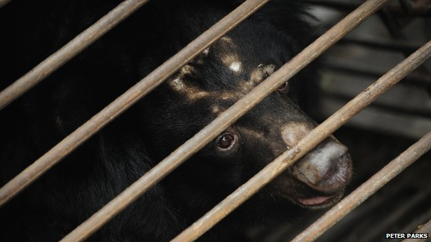 An Asian black bear waits to be moved from a truck after being rescued from a bear bile farm in Chengdu on February 6, 2009.