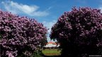 People enjoy the sunny weather near the castle of Nymphenburg besides blossoming lilac in Munich