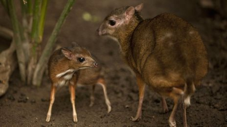 Baby deer 'no bigger than a hamster'