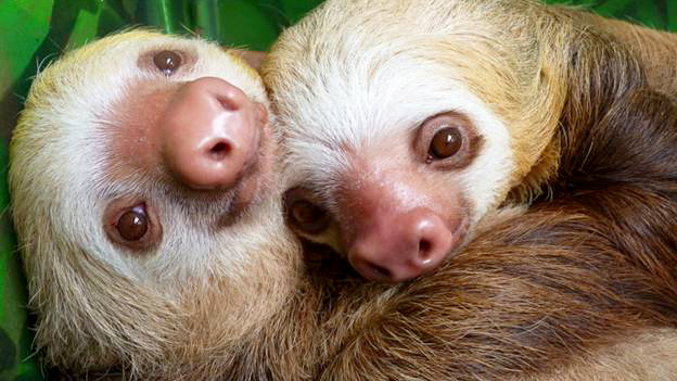 How sloths breathe upside down explained by scientists ...