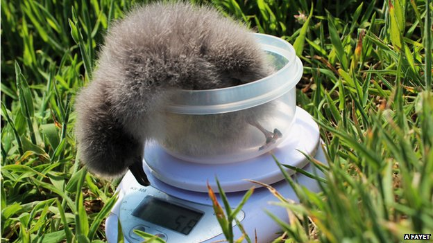 Manx shearwater chick being weighed on Skokholm island