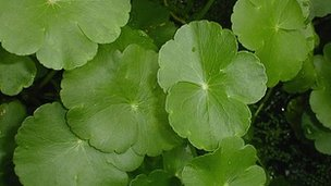 Close-up of the North American water-weed, floating pennywort