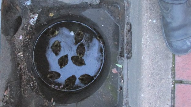 Ducklings trapped in a drain