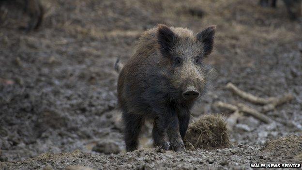 Wild boar near Maesteg