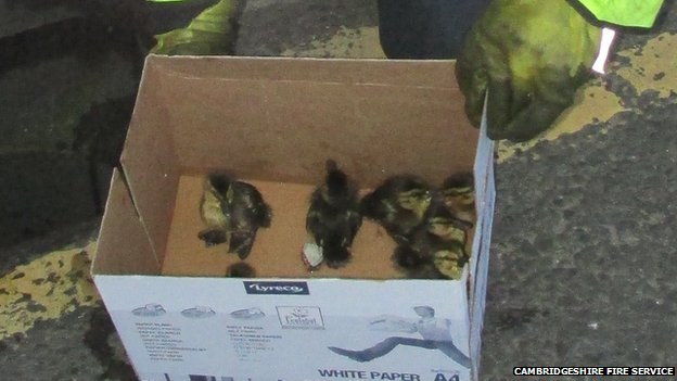 Ducklings after being rescued from a drain
