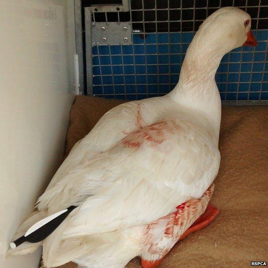 Achilles the goose
