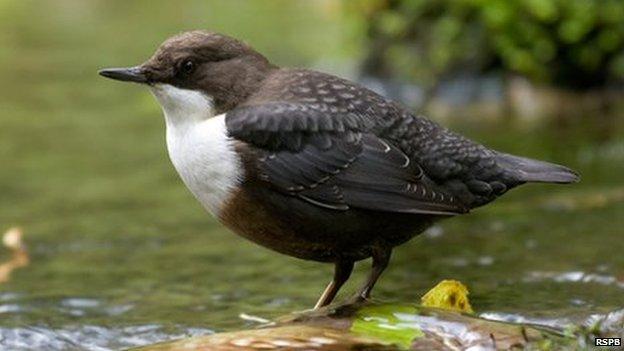 Dipper bird