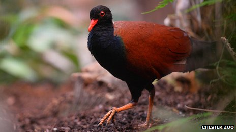 A adult white-naped pheasant