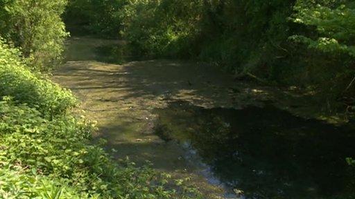 Basingstoke canal algae