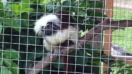 One of the stolen cotton-top tamarins that has been returned