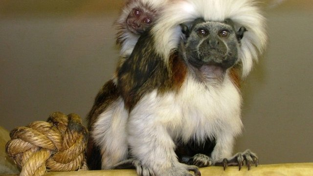 Two of the monkeys that had been stolen from Blackpool zoo