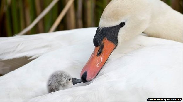 The first cygnet of 2014 to arrive at Abbotsbury Swannery, with its mother