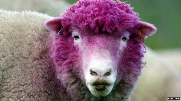 Sheep dyed pink