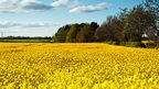 Vast field of bright yellow Rapeseed in full bloom, with light blue skies and few grey clouds spotted overhead. Green field on the horizon and trees lining the Rapeseed field.
