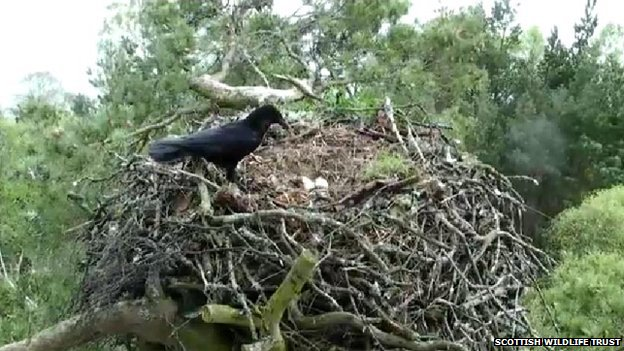 Crow on osprey nest